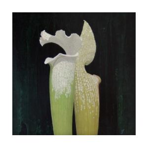130726飴本崇久_Sarracenia lrucophylla