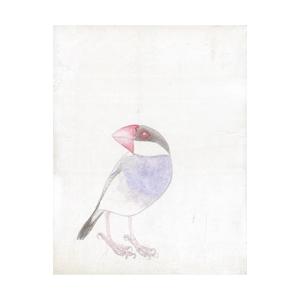 青柳明日香_桜文鳥のピッピ