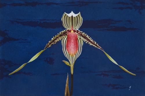飴本崇久「Paphiopedilum rothschildianum」